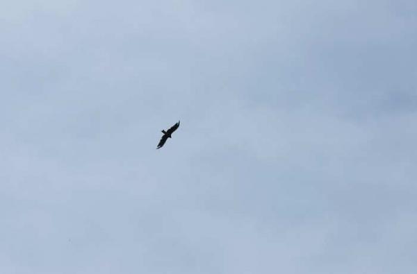 昭和村の空を飛ぶトンビ